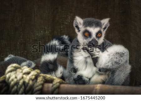 Ring tailed lemure - Madagascar Cats #1675445200