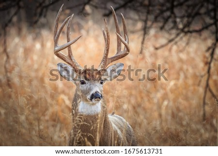 White-tailed Deer (Odocoileus virginianus), buck, in a winter forest in Oklahoma City Royalty-Free Stock Photo #1675613731