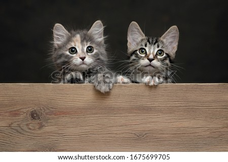 Two cute gray striped kittens rest their paws on a wooden board. Blank for advertisement or announcement with copy space