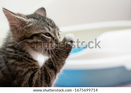 A cute tabby kitten washes his paw after visiting his litter box. Cleanliness and Hygiene Cat Concept