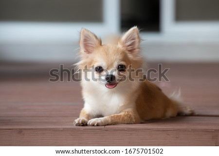 brown chihuahua sitting on floor. small dog in asian house.