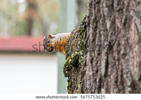 Tree Squirrel Looking at Camera with Acorn