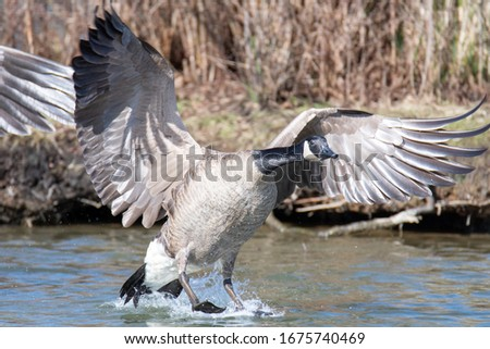 A picture of Canada goose touching down to the lake.   Vancouver  BC  Canada
