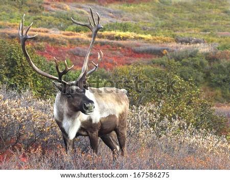Male Caribou on Fall Tundra, Alaska Range Royalty-Free Stock Photo #167586275