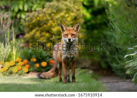 Close up of a red fox (Vulpes vulpes) standing on green grass in an urban garden, United Kingdom. #1675910914
