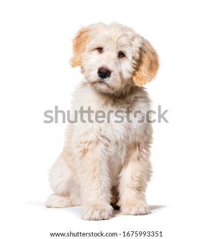 Sitting Puppy Barbado da Terceira, isolated on white Royalty-Free Stock Photo #1675993351