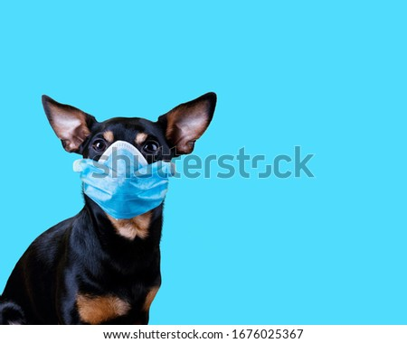 Coronavirus Small Dog Wearing a Medical Face Mask Against COVID-19 isolated on blue background. Conceptual Image with copy space. #1676025367