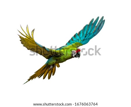 Military macaw, Ara militaris, flying, isolated on white #1676063764