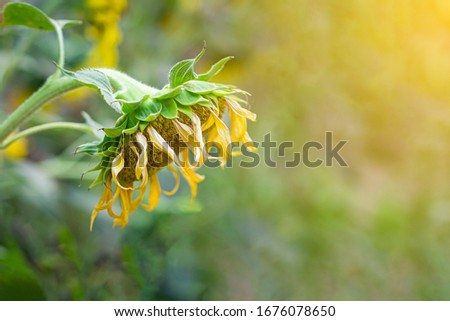 Close-up of a dying sunflower in the autumn field with nature background. #1676078650