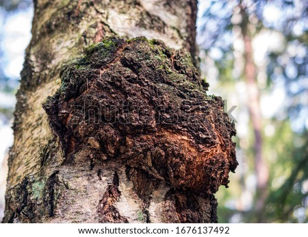 Chaga mushroom on the birch trunk. Dried chaga slowing the aging process, lowering cholesterol, preventing and fighting cancer are rich in a wide variety of vitamins, minerals, and nutrients. #1676137492