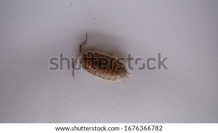 Wood louse / Woodlouse / slater on white background | insect - close up