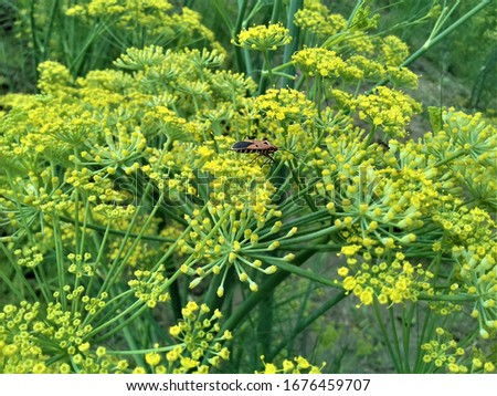 Anise yellow flower and insect on it. this is very beautiful pic here bee feeding juice of flower
