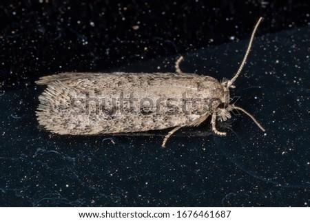 Brazilian moth of the Superfamily Tineoidea