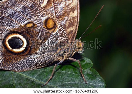 Head Owl Butterfly Macro. A macro image of the head of a butterfly ( Giant Owl). This butterfly occurs in Central and South America. On this picture, the details of the head are shown.