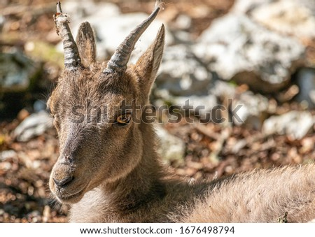 Close-up picture of a goat lying in rocky area in southern germany during summer