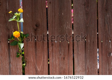 Old wood weathered fence with blooms pushing through   #1676522932
