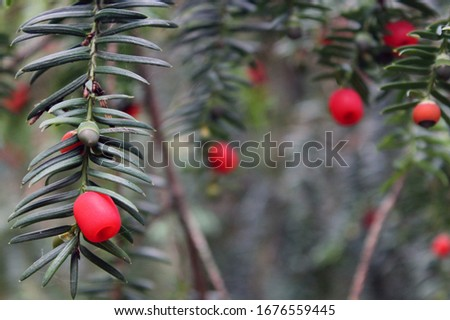 The branches and berries of the yew tree. Yew tree macro. #1676559445