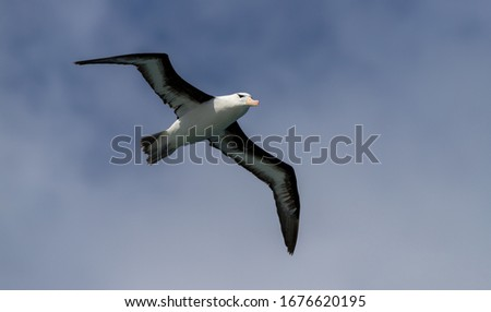 "A Royal Albatross "" Diomedea epomophora "" soars over the South Atlantic ocean. #1676620195"