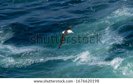 "A Royal Albatross "" Diomedea epomophora "" soars over the South Atlantic ocean. #1676620198"