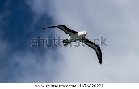 "A Royal Albatross "" Diomedea epomophora "" soars over the South Atlantic ocean. #1676620201"