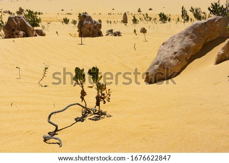 Close-up picture of a plant growing at the sand on a dry environment at the Pinnacles desert, West Australia near Perth