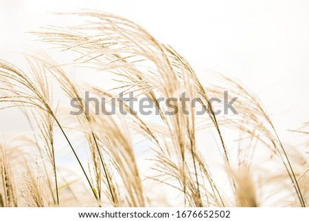 Brown golden tall grass grains wheat blowing in the wind against a white sky simple natural outdoors light bright Royalty-Free Stock Photo #1676652502