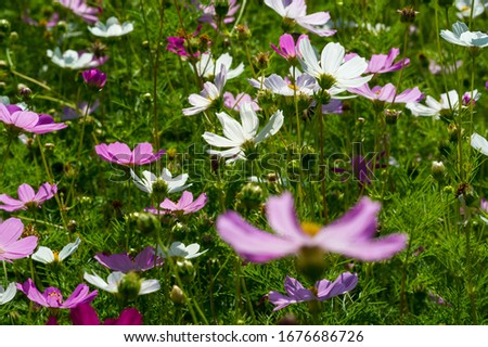 Flowers Cosmos is native to scrub and meadows in Mexico, where most species are found, as well as the United States, as far north as the Olympic Peninsula in Washington, Central America, #1676686726