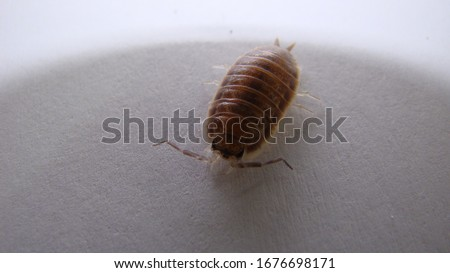 Wood louse on white background | Insect