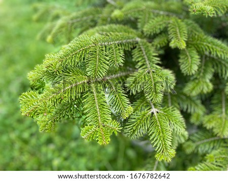 Fresh green leaf background. Balsam fir , Blister pine tree.  Firs, American silver fir, Balm of gilead , Eastern, Canadian, Abies balsamea Royalty-Free Stock Photo #1676782642