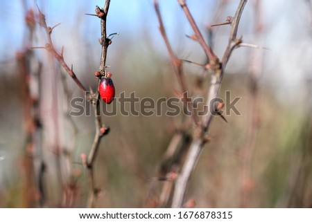 barberry red berry on a bush in early spring, close up, selective focus #1676878315