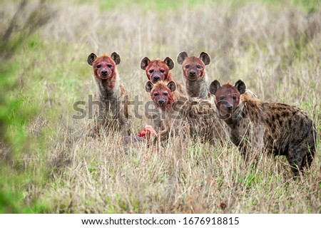 Group of hyenas eating prey in the savanna