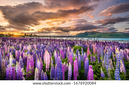 Sunset over blossoming lupine flowers in Lake Tekapo New Zealand. Field of colorful lupinus flowers in blossom. Sun rays shinning. Aoraki Mount Cook National Park. Lake in Southern Alps. #1676920084