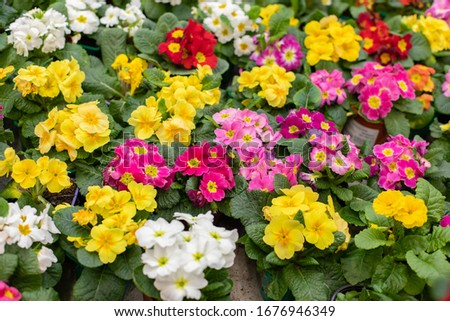 Set Primula primrose blossom top view. Red yellow cultivated varietal flower blooming. Primula primrose colorful background backdrop design flower shop