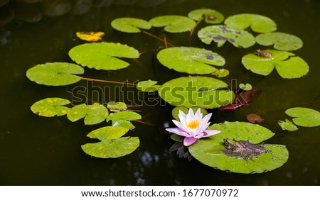 Lake with water-lily flowers on dark water. Beautiful pink water lily, Flower blooming #1677070972