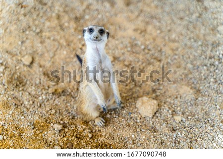 Portrait of Meerkat or Suricate (Suricata suricatta) standing on a sand looking vigilant in the wild desert. Close up cute Meerkat soft focus lying on the sand. Funny African animals.