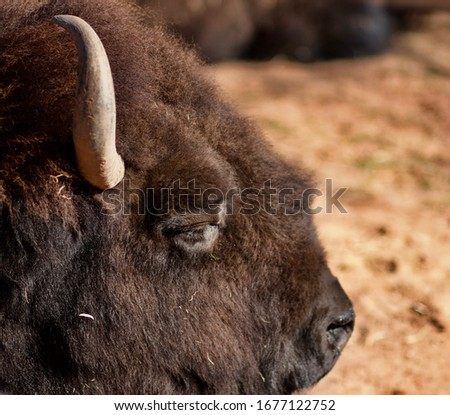 Close up picture of a live Bison Head