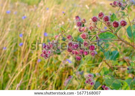 Summer landscape photography, thorn bur, a widespread herb from the daisy family, which usually has a spiny stem, leaves and rounded heads of purple flowers. #1677168007