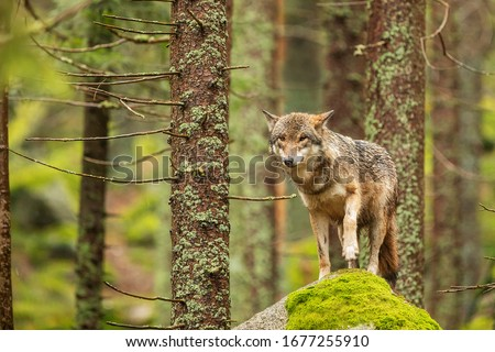 gray wolf (Canis lupus) nice posing on the rock with moss #1677255910