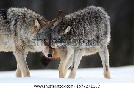 Wolves expressing emotions and howling in the wild winter forest with snow Royalty-Free Stock Photo #1677271159