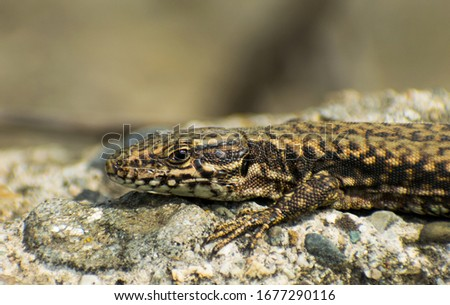 The European lizard heats up in the sun on a stone. Portret. Close up #1677290116