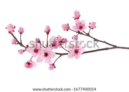Pink spring cherry blossom. Cherry tree branch with spring pink flowers isolated on white Royalty-Free Stock Photo #1677400054