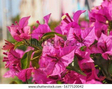 Bougainvillea spectabilis, glabra or buttiana known as great bougainvillea. Flowering plant in the family Nyctaginaceae. Evergreen Paperflower is ornamental plant, woody vine shrub with pink flowers. #1677520042