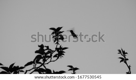 Silhouette of Wild Hummingbird in the Sky, Black and White Photo