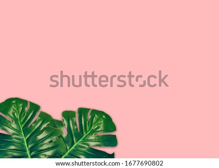 the tropical evergreen vine isolated on pink background.Flat lay #1677690802