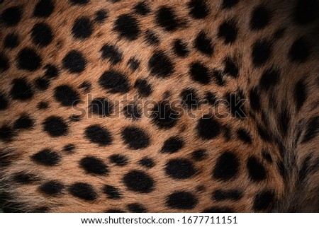 Cheetah skin and black spots  Has brown background hair