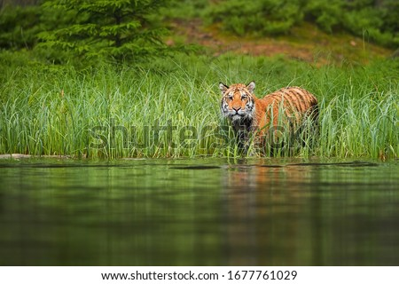 Siberian tiger, Panthera tigris altaica, preparing for crossing forest lake. Tiger on lake shore, looking from green grass above water surface. Tiger in taiga environment. #1677761029