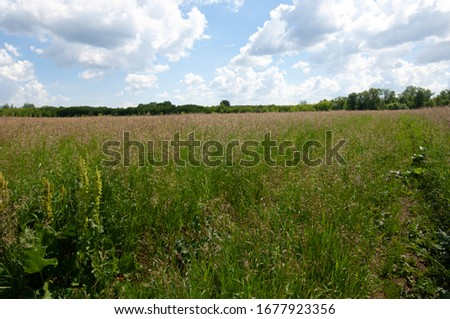 summer landscape, lawn grass in the process of ripening seeds, lawn in a lush green blanket #1677923356