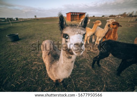 wide angle picture of a llama