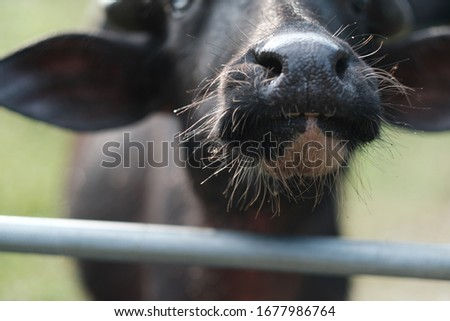 Cattle stocks breeding. The major breeds of beef cattle in Malaysia are Kedah- Kelantan (KK), Brahman Crosses and the European-KK-crossbreeds. The KK cattle is the most important indigenous cattle in  #1677986764