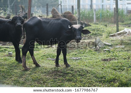 Cattle stocks breeding. The major breeds of beef cattle in Malaysia are Kedah- Kelantan (KK), Brahman Crosses and the European-KK-crossbreeds. The KK cattle is the most important indigenous cattle in  #1677986767